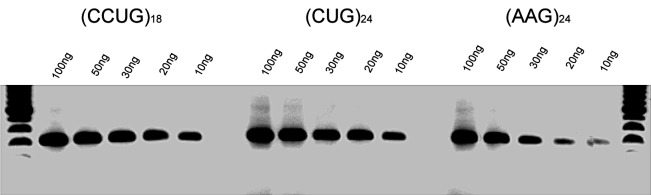 RT-PCR assay of CLCN1 exons 3 to 10, from RNA extracted after expression of different repeat RNAs: (AAG)24 (A), (CCUG)18 (B) and (CUG)24 (C), on days 2 and 3 after transfection. The upper band, S, represents the standard RT-PCR product; • represents skipping of exons 6-9; ** represents skipping of exons 6-7. D) RT-PCR from a series of RNA dilutions of total RNA extracted from transfected C2C12 cells on day 3 after transfection suggested that (CCUG)18 and (CUG)24 RNA levels are similar, while (AAG)24 RNA levels are only about 33% of this value.