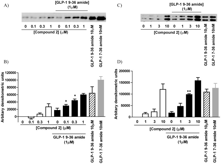 ERK signaling through the GLP-1R. HEK-GLP-1R cells ( A and B ) or INS-1E cells ( C and D ) were challenged for 5 min with either vehicle (1% v/v DMSO), GLP-1 9–36 amide (1 or 10 µM as indicated) or compound 2 alone or GLP-1 9–36 amide (1 µM) and compound 2 together as indicated. Cells were also challenged with GLP-1 7–36 amide (10 nM). Levels of phospho-ERK were then determined by Western blotting. The intensity of the bands representing phospho-ERK was determined using ImageJ and the mean data are shown in the panels below the immunoblot with basal (0) levels subtracted. Data are either representative of 3 experiments or mean+s.e.m., n=3. *, P