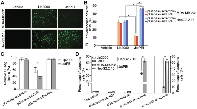 The jetPEI-Hepatocyte reagent mediates specific shRNA delivery into HepG2.2.15 cells. ( A ) Representative images for EGFP expression in the cells that are transfected with pGenesil-1. Vehicle control, Lipofectamine 2000 (Lip2000) and jetPEI-Hepatocyte (JetPEI) reagents were used to mediate transfection. HepG2.2.15 and MDA-MD-231 cells were imaged by fluorescent microscopy at 24-h post-transfection. ( B ) Percentages of EGFP-positive cells detected by flow cytometry at 24-h post-transfection. HepG2.2.15 and MDA-MD-231 cells were transfected with pGenesil-scramble and pGenesil-siHBV4 respectively. Three reagents were used for transfection: vehicle control, Lip2000, and JetPEI. ( C ) The levels of the HBsAg protein in culture medium normalized to the level of untreated cells at 72 h post-transfection. HepG2.2.15 cells were transfected with pGenesil-scramble, pGenesil-siHBV4, and pGenesil-siSurvivin respectively using either Lip2000 or JetPEI. ( D ) Percentages of apoptotic cells detected by flow cytometry at 48 h post-transfection. HepG2.2.15 cells were transfected as in (C) (the left side of the composite figure). MDA-MB-231 and HepG2.2.15 cells were transfected with pGenesil-siSurvivin by JetPEI (the right side of the figure). Data in (B), (C), and (D) are shown as mean ± SD of three independent experiments (*: P