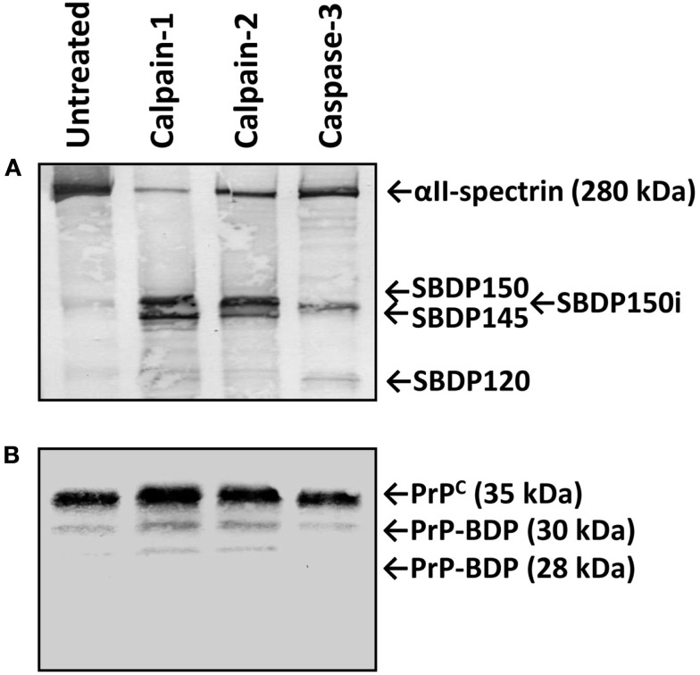 """Relative resistance of PrP C from mouse brain lysate to calpain proteolysis . Lysate from naïve mouse brains were prepared and digested with calpain-1, -2, or <t>caspase-3</t> as described in section """"Materials and Methods."""" Aliquots of the untreated and treated lysates were then electrophoresed, western blotted, and immunostained with either anti-αII-spectrin Ab (A) or with anti-PrP Mab E11. (B) Characteristic calpain-generated SBDP150 and SBDP145 as well as caspase-3 generated SBDP150i and SBDP120 are indicated. No PrP C -BDPs were observed following the treatments with Mab 7E4 (data not shown)."""