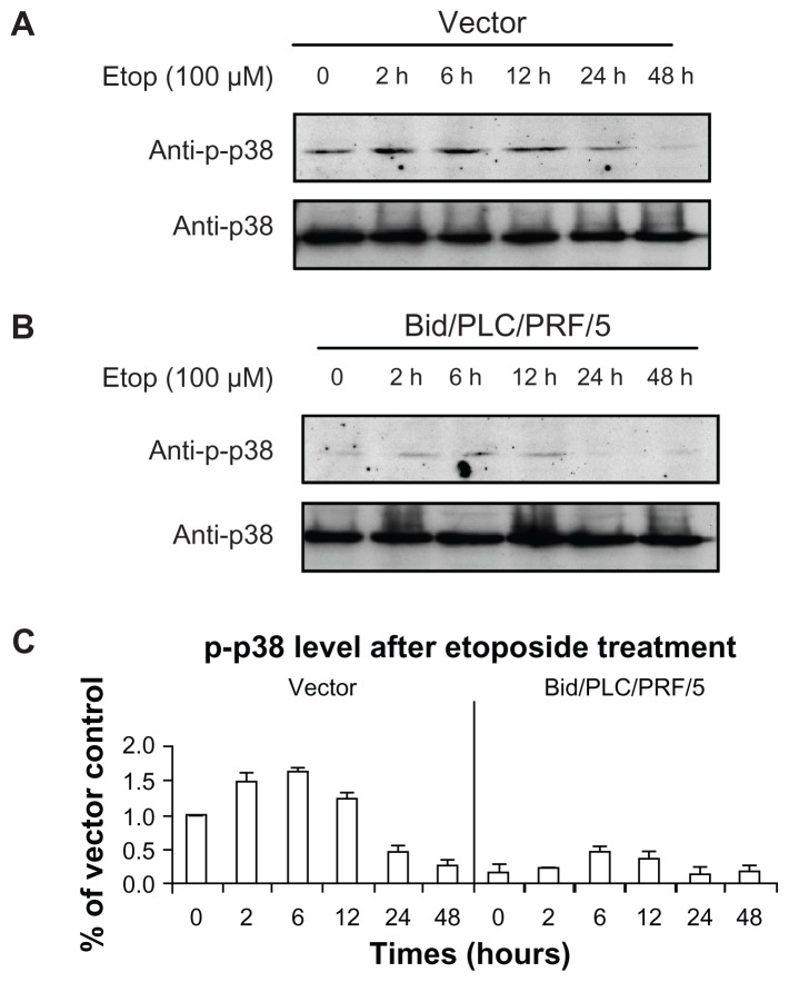 Effects of Bid-overexpression on the phosphorylation of p38 in response to etoposide. Vector control ( A ) and Bid/PLC/PRF/5 cells ( B ) were treated with etoposide for different periods of time, respectively. Then p-p38 was detected by Western blot analysis. All blots were subsequently stripped and reprobed with antibodies against p38. The density of p-p38 protein bands was determined ( C ). Abbreviation: Bid, BH3-interacting domain death agonist.