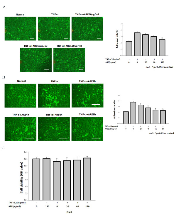 ARE inhibited TNF-α-stimulated adhesion of <t>THP-1</t> cells to SVEC cells. A, B. Quantitation of THP-1 cells adhering to untreated SVEC cells and to SVEC cells treated for 4 h with 10 ng/ml TNF-α in the absence or presence of ARE (30, 60 or 120 μg/ml) for up to 2, 4, 6, or 8 h. For details of the adhesion assay see Materials and methods. The number of adherent THP-1 cells was determined using a counting slide. Data are representative of at least three independent experiments and are shown as mean values ± S.D. *P