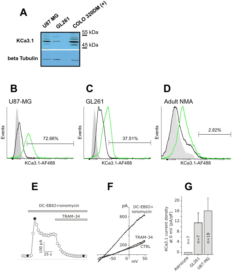 Functional KCa3.1 channels are expressed in U87MG and GL261 cell lines. ( A ) Immunoblot analysis of U87MG and GL261 showed an expression of KCa3.1 channels correlated to transcript levels. ( B ) ( C ) Cytofluorimetric analysis of KCa3.1 on U87MG, GL261 and mouse normal adult astrocytes (NMA). Cells were incubated with anti-KCa3.1 followed by AlexaFluor488-conjugated Goat anti-Rabbit antibody as reported in the Materials and methods section. Ten thousand events were recorded and analyzed with Cyflogic. Gray histograms: cellular autofluorescence; black histograms: AlexaFluor488-conjugated Goat anti-Rabbit alone; green histograms: anti-KCa3.1 ( D ) Typical time course of the KCa3.1 current from a GL261 cell, recorded from I-V curves at 0 mV, in control conditions, after application of DC-EBIO (100 µM) + ionomycin (500 nM), and following application of 3 µM TRAM-34 in the continuous presence of DC-EBIO+ionomycin. Voltage ramps were applied every 5 s. Filled circles are data points obtained immediately before the I-V curves shown in panel E. ( E ) Representative I-V curves obtained by applying voltage ramps from −100 to +50 mV from a holding potential of 0 mV, in control conditions (CTRL), following the application of DC-EBIO+ionomycin, and after addition of TRAM-34 in the continuous presence of DC-EBIO+ionomycin. ( F ) Mean KCa3.1 current density measured in mouse NMA, as control, in GL261 and U87MG glioblastoma cell lines at 0 mV, assessed as the difference between the peak current density in DC-EBIO+ionomycin and the residual current following the addition of TRAM-34 (cf. filled circles in panel D ).