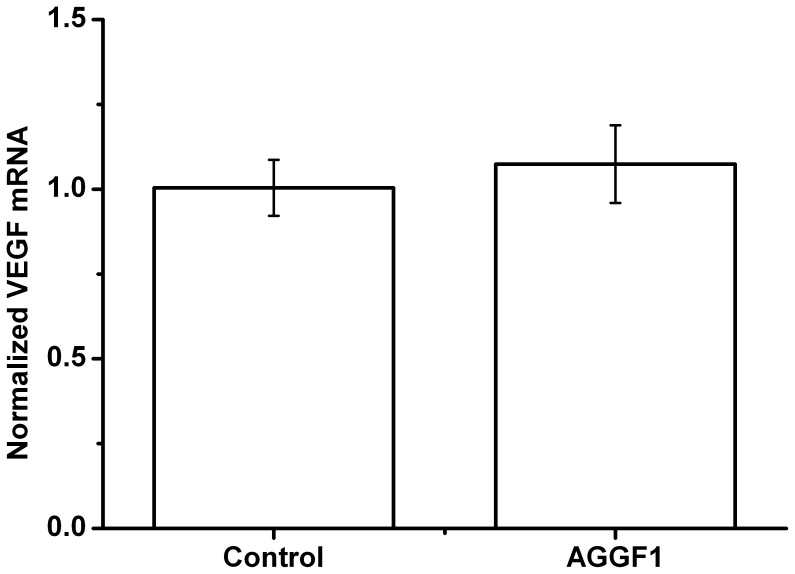 Overexpression of human AGGF1 in a mouse hindlimb ischemia model does not affect the expression level of VEGF . Seven days after delivery of AGGF1 expression plasmid DNA (empty vector as control), mice were sacrificed and gastrocnemius muscle tissues were excised and used for isolation of total <t>RNA</t> and follow-up real time <t>RT-PCR</t> analysis of the mouse VEGF gene. Note that VEGF expression did not show any difference between AGGF1 and control ( P > 0.05).