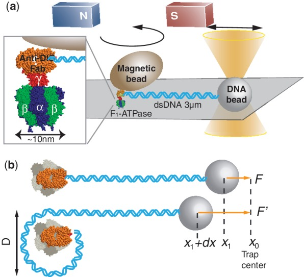 Experimental setup. ( a ) The molecular reel was constructed of F 1 , a magnetic bead, and the Fab fragment on Ni–NTA glass. A biotinylated anti-DIG Fab fragment (orange) specifically linked the γ subunit (red) of F 1 –ATPase and the streptavidin-coated magnetic bead. A dsDNA molecule (8.7 kb) was bridged between the anti-DIG Fab fragment and a streptavidin-coated polystyrene bead trapped using optical tweezers. The dsDNA was wound by rotating the magnetic bead using the magnetic tweezers. The stretching force was nearly parallel to the glass surface; the angle of the DNA strand against the coverglass was
