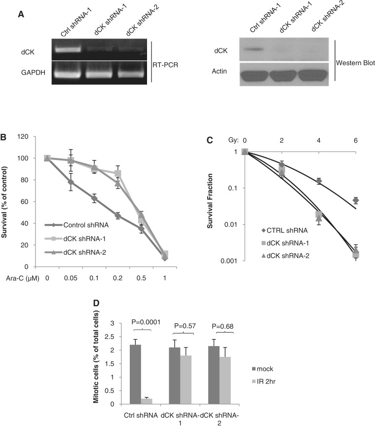 dCK is required for the G2/M checkpoint in response to ionizing radiation. ( A ) Establishment of isogenic cell lines with stable dCK knock-down. HeLa cells were stably transfected with control or dCK shRNA. Individual clones were obtained under puromycin selection. Knock-down effects were confirmed by RT–PCR (left panel) and western blot (right panel). ( B ) The isogenic cell lines with control or dCK knock-down were treated with Ara-C at indicated doses for 24 h, and clonogenic survival was assessed. ( C ) Radiosensitivity was assessed by the colony formation assay in the isogenic cell lines after radiation treatment (0–6 Gy). ( D ) Isogenic HeLa cells were treated with mock or IR treatment (6 Gy). Two hours after treatment, cells were harvested and fixed followed by staining for Histone H3 Ser10 phosphorylation for flow cytometry. The average and standard deviations of at least triplicate samples are shown. Statistic analysis was done by Student's t -test.