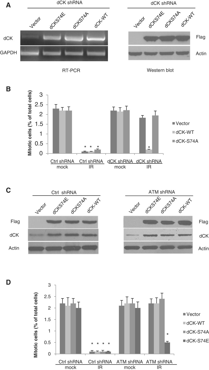 ATM-mediated dCK Serine 74 phosphorylation is required for the IR-induced G2/M checkpoint. ( A ) dCK knock-down HeLa cells were re-introduced with vector control, dCK wild-type, dCK Serine 74 to alanine (S74A) mutation or Serine 74 to Glutamic Acid (S74E) mutation. The complementation effects using RT–PCR and western blot are shown. ( B ) The dCK complemented cell lines were treated with mock or IR (6 Gy). Two hours after treatment, cells were harvested and stained for Histone H3 Ser10 phosphorylation followed by flow cytometry. ( C ) Expression of flag-tagged dCK as compared to endogenous dCK in control shRNA and ATM shRNA cells. ( D ) HeLa cells with control or ATM shRNA were transiently transfected with vector, wild-type (WT), S74A or S74E of dCK and treated with IR (6 Gy). Two hours after treatment, cells were harvested and stained for Histone H3 Ser10 phosphorylation followed by flow cytometry analysis. The average and standard deviations of at least triplicate samples are shown. Statistic analysis was done by Student's t -test; * P ≤ 0.05.