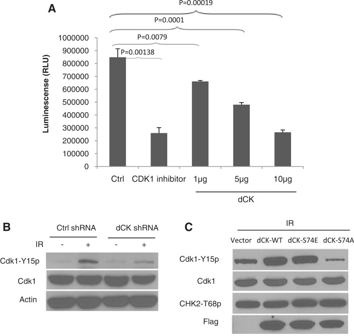The dCK–Cdk1 interaction inhibits Cdk1 activity both in vitro and in vivo . ( A ) Cdk1 kinase activity was measured by an in vitro kinase assay using the recombinant Cdk1/CyclinA2 complex incubated with 1 μg of <t>Histone</t> H1 as substrate in the presence of 50 µM ATP. Recombinant dCKs at indicated doses were added into the kinase reaction, and the luminescence signal indicative of Cdk1 activity was recorded. The average and standard deviations of at least triplicate samples are shown. ( B ) Isogenic HeLa cell lines with control or dCK shRNA were treated with mock or IR (6 Gy). Two hours after IR, total cell lysates were obtained and subjected to western blot analysis using indicated antibodies. ( C ) HeLa cells transiently transfected with vector, flag-tagged wild-type, S74A or S74E were irradiated (6 Gy). Total cell lysates were obtained and subjected to western blot with indicated antibodies.