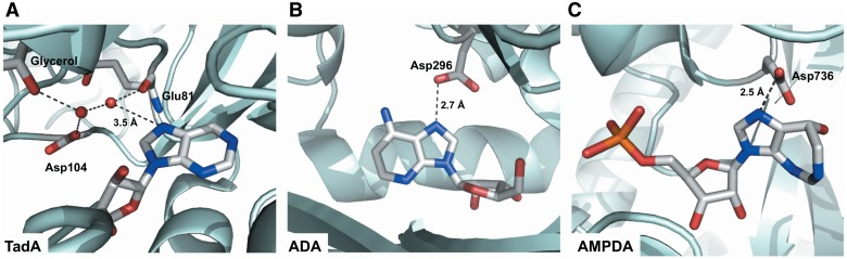 Known interactions with adenine N7 in different enzymes that catalyze adenosine deamination. ( A ) tRNA adenosine deaminase (TadA), ( B ) ADA and ( C ) AMPDA make hydrogen bonding interactions with adenosine. (A) Staphylococcus aureus TadA makes a hydrogen bond to N7 of nebularine through a network of ordered water molecules ( 73 ). (B) D296 of murine ADA makes a hydrogen bond to N7 of 1-deazaadenosine ( 77 ). (C) D736 of Arabidopsis AMPDA ligates the catalytic zinc, but is also within hydrogen bonding distance of N7 of coformycin 5′-phosphate ( 76 ).