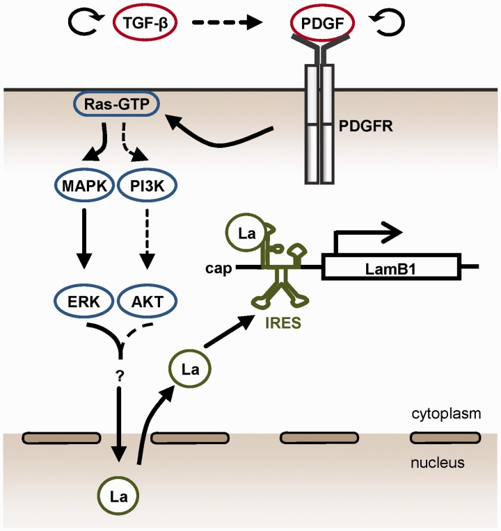 Model of regulating IRES-mediated LamB1 translation during hepatocellular EMT and carcinoma progression. PDGF signaling induced by TGF-β activates the MAPK/ERK pathway that predominantly regulates the cytoplasmic accumulation of La. PI3K/AKT might be additionally involved in the translocation of La to the cytoplasm (dashed lines). La binds as an ITAF to the minimal IRES motif and enhances IRES-mediated translation of LamB1 in EMT-transformed cells. Winded arrows indicate autocrine regulation of TGF-β and PDGF (top).