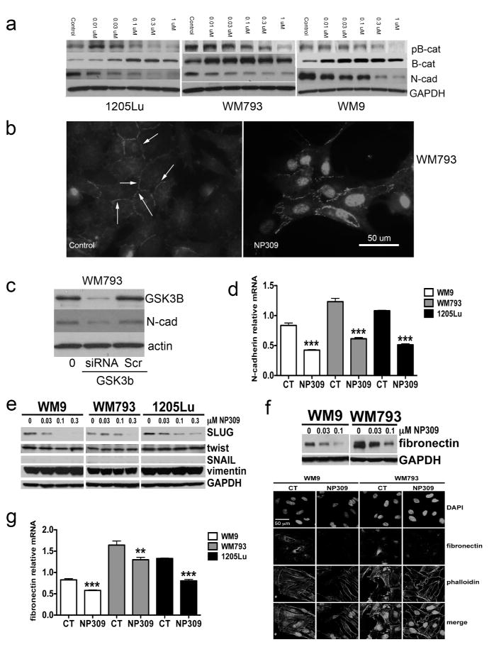 Inhibition of GSK3β leads to a reduction in N-cadherin expression A: Western blot showing NP309 increases β-catenin expression and decreases N-cadherin expression in melanoma cells. B: Immunofluorescence pictures demonstrating the ability of NP309 to increase membrane and nuclear β-catenin expression in WM793 cells. Scale bar: 50μm. C: siRNA knockdown of GSK3β reduces N-cadherin expression in WM793 cells. D: NP309 (0.3 μM, 24 hrs) decreases N-cadherin expression at the mRNA level. E: NP309 decreases expression of Slug. F: (top panel) Western blot showing NP309 (0–0.1μM, 24 hrs) decreases expression of fibronectin (bottom panel) Immunofluorescence staining showing decreased fibronectin expression following NP309 (0.3 μM, 24 hrs) treatment. G : NP309 (0.3 μM, 24 hrs) decreases fibronectin expression at the mRNA level.