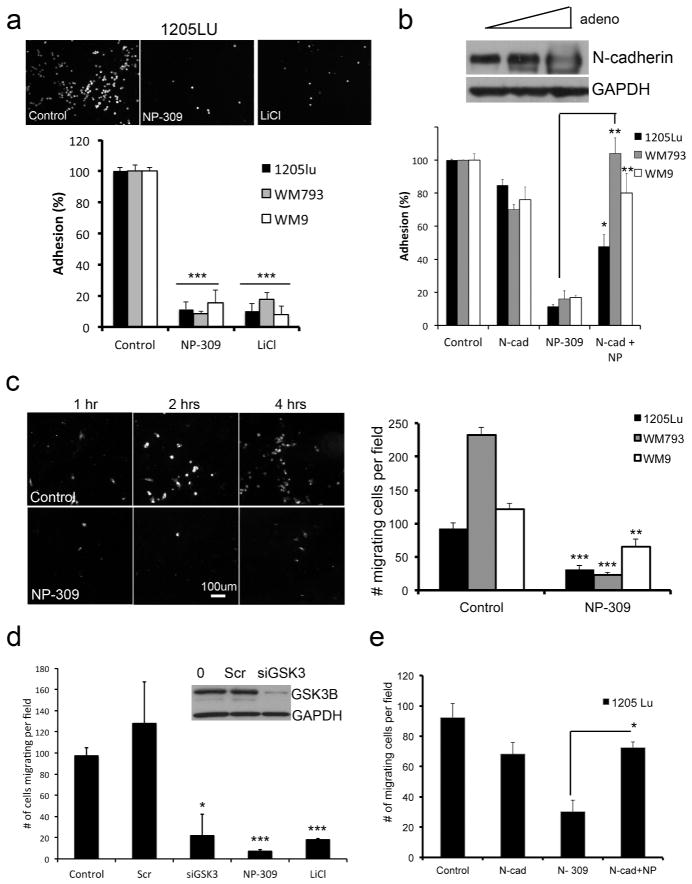 GSK3β inhibition prevents the interaction of melanoma cells with fibroblasts and endothelial cells A: 24 hr NP309 (0.3 μM) and LiCl (50 mM) pre-treatment reduced the adhesion of melanoma cells to a fibroblast monolayer. B: Overexpression of N-cadherin reverses the effects of NP309 upon the adhesion of 1205Lu melanoma cells to a fibroblast monolayer C: NP309 prevents the transendothelial migration of melanoma cells. Scale bar: 100μm. Data shows quantification of cells migrating through the HUVEC layer. D: NP309, LiCl and siRNA knockdown of GSK3β prevents the transendothelial cell migration of 1205Lu melanoma cells. E: Overexpression of N-cadherin reverses the anti-transendothelial cell migratory effects of NP309 on 1205Lu cells. Statistically significant differences from controls are indicated where *P