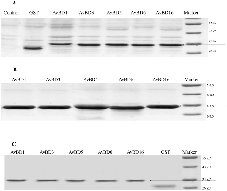 SDS–PAGE analysis of glutathione-S-transferase (GST)-tagged recombinant Apl_avian β-defensin (Apl_AvBD) proteins expressed in E. coli <t>BL21</t> (DE3) cells. (A) total protein from BL21 containing Apl_AvBD1, 3, 5, 6, 16, and GST with IPTG induction, respectively; (B) inclusion bodies with Apl_AvBD1, 3, 5, 6, 16, and GST respectively; (C) purified proteins of Apl_AvBD1, 3, 5, 6, 16, and GST with IPTG induction, respectively. IPTG, isopropyl-beta-D-thiogalactoside.