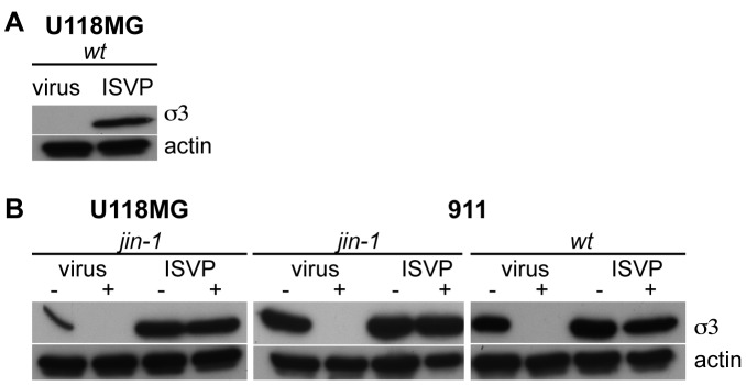 Effect of the cysteine protease inhibitor E64d on jin -1, wt T3D virus, and ISVP entry into cells. (A) U118MG cells were exposed to purified wt T3D virus and wt T3D ISVP (2*10 3 particles per cell). Lysates were made 24 hours post-infection and analyzed by SDS-PAGE and western-blotting. The reovirus σ3 proteins were detected by the anti-reovirus σ3 antibody 4F2 and an anti-Actin serum was used to detect actin as a loading control. (B) Effect of 100 µM E64d on the entry of particles compared to entry of ISVPs. Cells, treated (+) or untreated (−) with 100 µM E64d, were exposed to jin-1 (U118MG and 911 cells) or wt T3D (911 cells) virus or ISVPs (2*10 3 particles per cell). Lysates were made 24 hours post-infection. Equal amounts of protein were loaded on 10% SDS-polyacrylamide gel and detected with anti-reovirus σ3 antibody (4F2), and anti-Actin as a loading control.