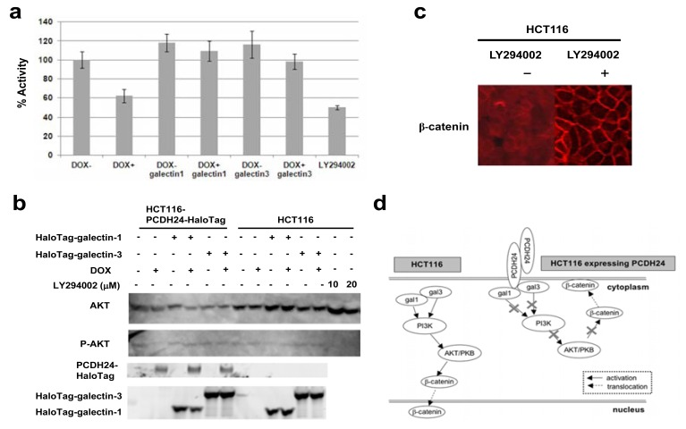 ( a ) PI3K activity was assessed using quenched fluorescence signals. Whole cell lysate was extracted and the fluorescence signal was measured. As a control, the PI3K inhibitor LY294002 was used. HCT116-PCDH24-HaloTag cells were exposed to LY294002 (100 µM) for 48 h before the assay. HCT116-PCDH24-HaloTag cells were cultured with or without DOX. Galectin1 and galectin3 indicate cells that were transiently transfected with the HaloTag-fused galectin-1 or galectin-3 expression clone, respectively. %Activity was calculated from the signal intensity of DOX- cells, which was divided by the signal intensity observed for each indicated condition. Triplicate wells were assayed and the data represent the mean ± SD. ( b ) AKT/PKB activity downstream of PI3K signaling modified by the PCDH24 and/or the galectins. HCT116-PCDH24-HaloTag and HCT116 cells were cultured with or without DOX, transiently-expressed HaloTag-fused galectin-1 and galectin3. Western blot analysis of AKT/PKB in the cells was performed using antibodies against total AKT or phosphorylated AKT. Halo-Tag-fusion proteins were fluorescently-labeled using TMR HaloTag® ligand and detected by a FluoroImager FLA-3000 (Fujifilm). As a control, the PI3K inhibitor LY294002 was used. HCT116 cells were exposed to LY294002 (10 µM and 20 µM) for 24 h before the assay. ( c ) Subcellular localization of β -catenin in HCT116 cells treated with LY294002. Immunofluorescent images were obtained using an anti β -catenin antibody. ( d ) Proposed model for the mechanism by which PCDH24 regulates PI3K activation via galectin-1 and galectin-3 in colon cancer cells. In parental HCT116 cells (left), galectin-1 and -3 activate PI3K. The activation of PI3K by galectins activates AKT/PKB and also leads to the nuclear localization of β -catenin. Conversely, in HCT116 cells expressing PCDH24 (right), galectin-1 and -3 are trapped by PCDH24 at the cell membrane, and thus PI3K and AKT/PKB are not activated by the galectins. Subsequently, β -ca