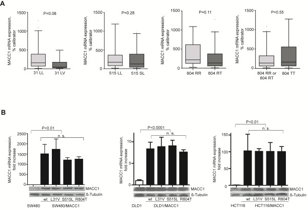 MACC1 SNPs L31V, S515L, and R804T and MACC1 expression in colorectal cells and tumors A). MACC1 mRNA expression was determined in 60 colorectal tumors by <t>qRT-PCR.</t> Box plots show the mRNA expression compared to MACC1 genotypes. SNPs have no effect on the MACC1 mRNA expression in these colorectal tumors. B ) SW480, DLD1, HCT116 colorectal cancer cells were transfected with pcDNA3.1/MACC1/wt, pcDNA3.1/MACC1/L31V, pcDNA3.1/MACC1/S515L and pcDNA3.1/MACC1/R804T. The MACC1 mRNA expression in these cell clones was measured by qRT-PCR and normalized to the MACC1 mRNA expression of parental cells. Additionally, MACC1 protein expression was determined. β-tubulin was used as a loading control. SNPs have no effect on the MACC1 mRNA and protein expression in SW480, DLD1 and HCT116 colorectal cancer cells.