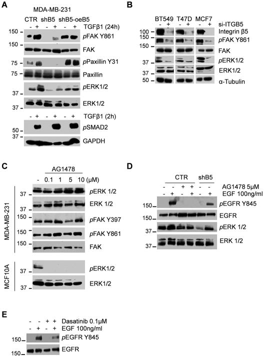 Integrin β5 mediates activation FAK and ERK signaling (A) Immunoblot analysis of whole-cell protein extracts from control, shB5 and shB5-over-expressing integrin β5 MDA-MB-231 cells treated with TGF-β1 (2ng/ml) for 24h (upper panel) or 2h (lower panel). Membranes were probed with antibodies for FAK, phospho-FAK-Tyr861, phospho-paxillin-Ty31, paxillin, ERK1/2, phospho-ERK1/2, phospho-Smad2, and GAPDH as loading control. (B) Immunoblot analysis of whole-cell protein extracts from control and siRNA-ITGB5-treated BT549, MCF7, and T47D cells. Membranes were probed with antibodies for integrin β5, phospho-FAK-Tyr861, FAK, ERK 1/2, phospho-ERK1/2 and a-tubulin. (C) MDA-MB-231 (upper panel) and MCF10A (lower panel) cells were treated with the EGFR inhibitor AG1478 for 2h at the indicated concentrations. Immunoblot analysis was performed on whole-cell extracts probing for FAK, phospho-FAK-Tyr397, phospho-FAK-Tyr861, ERK1/2, and phospho-ERK1/2. (D) Immunoblot analysis of whole-cell protein extracts from control and shB5 cells, treated with EGF (100ng/ml) for 2h. Where indicated, a 1h pre-treatment with AG1478 (5μM) was performed. Membranes were probed for phospho - EGFR-Tyr845, total EGFR, phospho - ERK1/2, and total ERK1/2. (E) Immunoblotting of whole-cell protein extracts from control cells, treated with 100ng/ml EGF for 2h. Where indicated, a 1h pre-treatment with 100nM Dasatinib was done. Membranes were probed for phospho - EGFR-Tyr845 and EGFR.