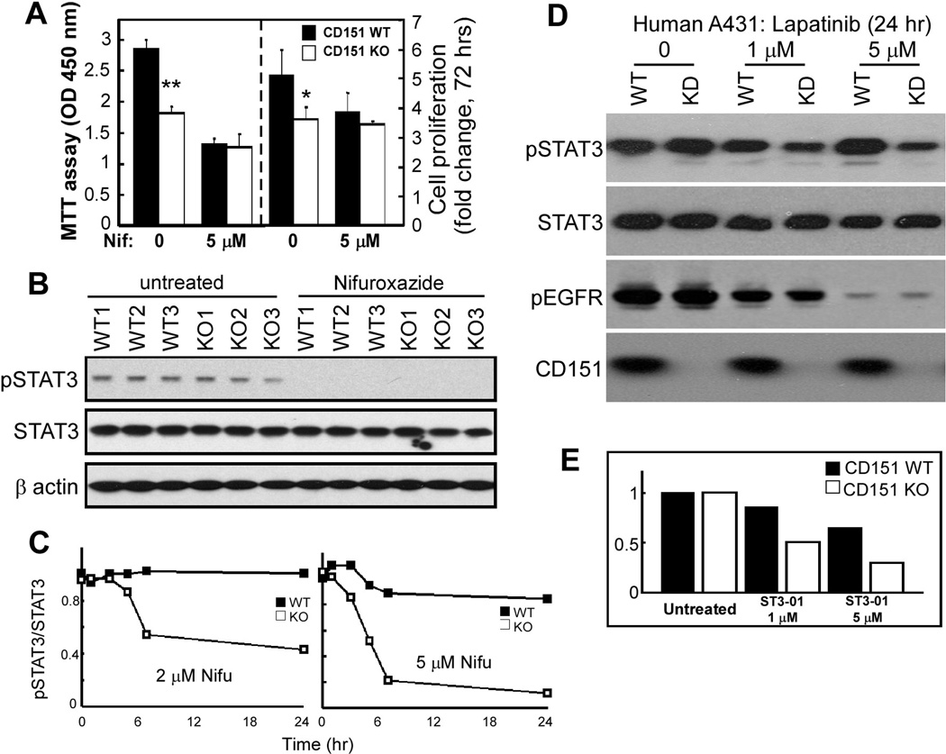 CD151 and STAT3 inhibition effects. A , Equal numbers of freshly isolated primary mouse keratinocytes were cultured ± 5 µM nifuroxazide. After 2 days, cell proliferation was assessed using the MTT assay, which measures metabolic energy (left panel) and after 3 days total cell numbers were counted (right panel). Bars represent mean +/− SD for 3 independent experiments. *, P