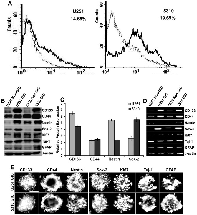 Isolation and characterization of GICs in U251 glioblastoma cells and 5310 xenograft cells. A, U251 and 5310 cells were enriched with knockout DMEM supplemented with growth factors as described in Materials and methods. After a considerable amount of sphere formation was observed, cells were collected, dissociated, and labeled with CD133 for isolation of positive cells using IgG-stained cells as a negative control. The CD133 + population is indicated as a black line over the dotted line, representing the total population in the histogram. B, Western blot analysis of non-GICs and GICs showing the expression of stem cell markers CD133, CD44, Nestin, Sox-2, proliferation marker Ki67, and the lineage markers GFAP and Tuj-1. C, Densitometric analysis indicating the increase in the protein expression levels of CD133, CD44, Nestin, and Sox-2 markers in GICs as compared to that of their non-GIC counterparts. D, Total RNA was extracted from the non-GICs and GICs and the mRNA expression levels of the stem cell, proliferation, and lineage markers were determined by RT-PCR analysis. E, GICs were further characterized by immunofluorescence analysis. GICs were immunoprocessed with the respective antibodies and then conjugated with species-specific Alexa Fluor 594-conjugated secondary antibodies and visualized under a microscope. Scale bar, 200 μ m.