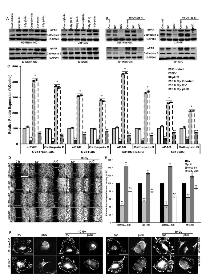 Effect of radiation and pUC on migration and cytoskeleton of non-GICs and GICs. A, U251 and 5310 non-GICs and GICs were irradiated with 5 and 10 Gy at 24 and 48 h. Cell lysates were extracted and analyzed by SDS-PAGE to determine the expression levels of uPAR and cathepsin B with and without radiation. GAPDH served as a loading control. All the results are representative of three individual experiments. B, U251 and 5310 non-GICs and GICs were transfected with pSV and pUC with and without irradiation for 24 and 48 h. Cell lysates were prepared and analyzed for uPAR and cathepsin B expression levels using western blotting. C, The protein expression levels of uPAR and cathepsin B in U251 and 5310 cells treated with pUC and radiation alone and in combination were analyzed by densitometric analysis and are depicted in the graph as relative protein expression (control of each set as 100%). D, Wound healing assay was performed with pSV and pUC and/or radiation treatments in U251 and 5310 non-GICs and GICs as described in Materials and methods. The cells were then fixed, stained with DAPI, and imaged using a fluorescence microscope (Olympus IX71, USA). Scale bar, 500 μ m. E, The migration and wound healing capacities of U251 and 5310 non-GICs and GICs treated under the previously described conditions were measured using a microscope, analyzed, and are graphically represented as a relative percentage of wound healing (migration of pSV-treated samples as 100%). F, U251 and 5310 non-GICs and GICs treated with pSV and pUC with and without radiation were grown on fibronectin-coated 4-well chamber slides. The cells were then fixed with 4% buffered formalin, stained with vinculin antibody, and incubated with DAPI for a brief period of time before mounting. Scale bar, 200 μ m. Values are mean ± SD of three different experiments ( * p