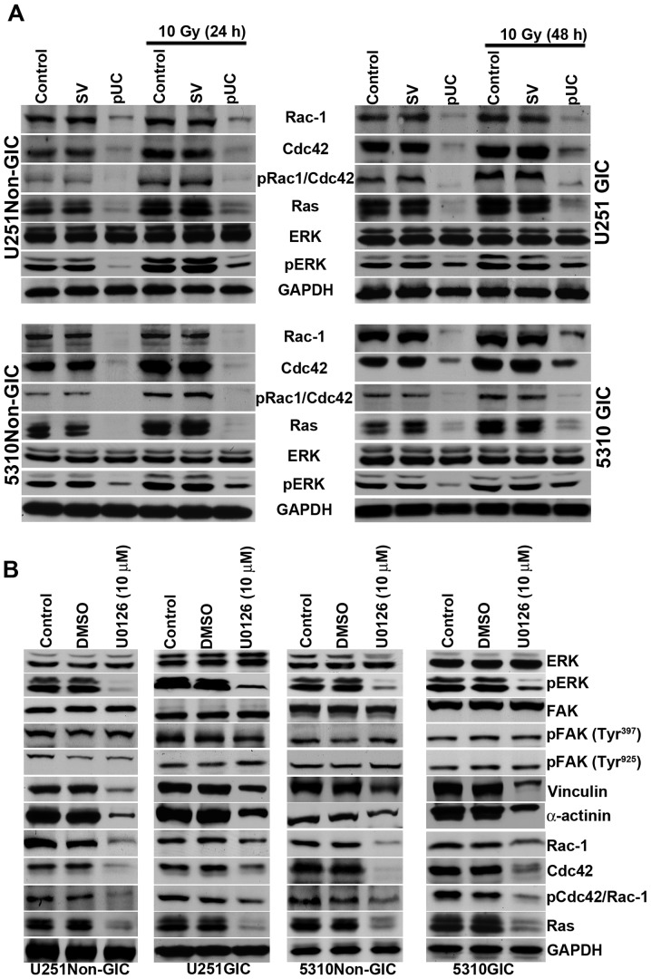pUC inhibits the FAK migratory signaling pathway and inhibition of ERK can further influence the FAK signal. A, Cell lysates of control, pSV-transfected, and pUC-transfected U251 and 5310 non-GICs and GICs with and without irradiation were collected. Western blot analysis was performed for FAK migratory signaling molecules Rac-1, Cdc42, pCdc42/Rac-1, Ras, ERK, and pERK using their specific antibodies. GAPDH served as a loading control. B, The total protein lysates from U251 and 5310 non-GICs and GICs were collected from U0126 (10 μ M) and DMSO treatments. SDS-PAGE was conducted as described in Materials and methods. Western blotting was performed to determine the protein expression levels of ERK, pERK, FAK, pFAK (Tyr 397 ), pFAK (Tyr 925 ), vinculin, α-actinin, Rac-1, Cdc42, pCdc42/Rac-1, and Ras using their specific antibodies.