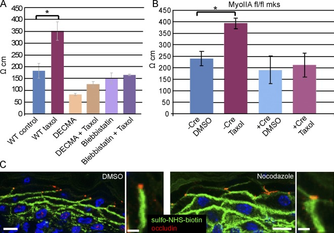 Tight junction barrier activity is increased by cortical microtubules. (A) Transepithelial resistance (TER) measurements were taken of wild-type cells, cells treated with taxol, cells treated with E-cadherin inhibitory DECMA antibodies (with and without taxol), and in blebbistatin-treated cells (with and without taxol). P = 0.0037 for control vs. taxol treatment; n = 9. (B) TER levels in myosin IIA WT and null cells (with and without taxol). P = 0.007. (C and D) In vivo epidermal barrier assay. DMSO or nocodazole was injected subcutaneously with a biotin tracer. After 30 min the skin was removed, embedded, and sectioned for analysis. Streptavidin-FITC (green) allowed visualization of the diffusion of the biotin, and occludin (red) puncta mark the tight junctions in the granular layer of the epidermis. Bar, 10 µm (5 µm for insets).