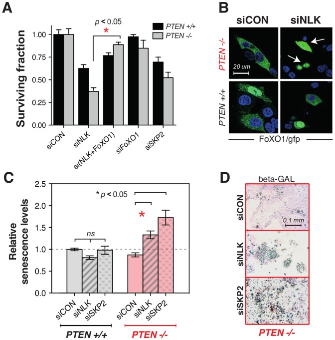 PTEN/NLK synthetic lethality is abrogated by <t>FOXO1</t> silencing. ( A ) Survival analysis of HCT116 cells transfected with NLK and/or FOXO1 siRNA. HCT116 PTEN −/− and HCT116 PTEN +/+ cells were transfected with siRNA targeting NLK and FOXO1 as shown and surviving fractions determined after five days. The p value (*) was calculated using Student's t test. ( B ) Nuclear localisation of FOXO1 is enhanced in PTEN deficient cells upon NLK silencing. HCT116 isogenic cells were co-transfected with <t>GFP-tagged</t> FOXO1 <t>cDNA</t> in addition to control (non targeting) siRNA (siCON) or NLK siRNA. Two days later cells were fixed and stained with DAPI. Green signal represents GFP-FOXO1 and blue signal represents nuclear DAPI (nuclear) staining. Arrows indicate cells with nuclear localisation of FOXO1. ( C ) Senescence is increased by NLK siRNA in PTEN deficient cells. Bar chart of relative relative senescence levels caused by NLK silencing are shown. HCT116-derived PTEN isogenic cell lines were reversed transfected with a pool of two validated siRNAs against NLK, as well as siCON pool#2 (Dharmacon) as non-targeting control, using RNAiMAX (Invitrogen). Seven days after transfection cells were fixed and incubated overnight at 37°C in a solution containing X-gal. ( D ) Representative images for β-Galactosidase staining of PTEN deficient cells. Blue staining indicates β-Galactosidase.