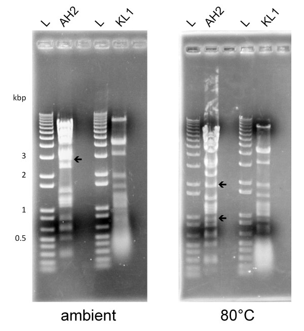 RFLP analysis of KL1 and AH2 genomic DNA. 5 μg of genomic DNA were digested overnight with EcoRI and separated on a 0.8% agarose gel. The DNA in the ambient gel (left) was not heated, while the DNA in the 80°C gel (right) was incubated 20 min at 80°C and chilled on ice prior to loading. Arrows indicate bands containing cos site DNA. L: 1 Kb Plus DNA Ladder (Invitrogen).