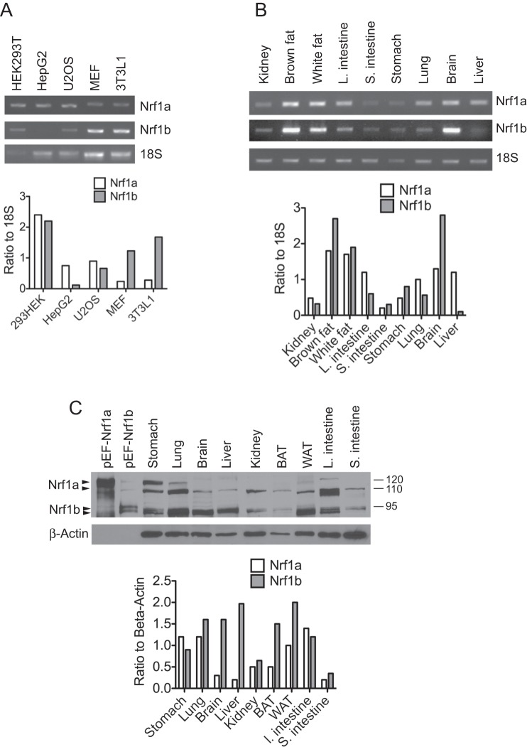 Nrf1b expression is widely distributed. Nrf1a and Nrf1b mRNA expression patterns were analyzed by RT-PCR in various cell lines ( A ) and mouse tissues ( B ) . Nrf1a and Nrf1b cDNA was amplified by PCR for 30 cycles and 18S was amplified for 20 cycles. Histograms show relative Nrf1a and Nrf1b expression normalized against 18S. ( C ) . Western blot of different mouse tissues probed with Nrf1 antibody. HEK293 cells transfected with pEF1-Nrf1a (lane 1), and pEF1-Nrf1b (lane 2) were used as controls for detection of the Nrf1a and Nrf1b isoforms by the Nrf1 antibody. Beta-actin was used as a loading control.