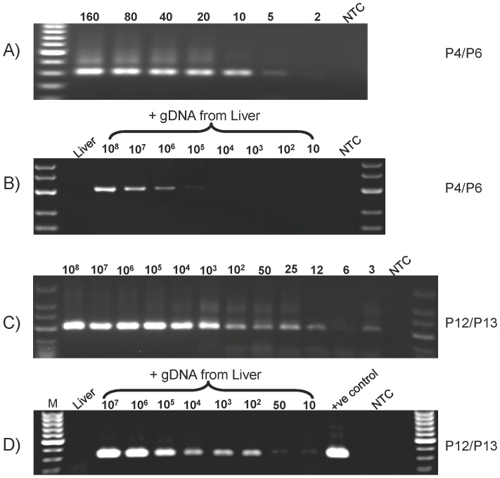 Effect of non-specific gDNA on the specificity and sensitivity of MSP. The unmethylated Ins2 gene plasmid was diluted in the presence or absence of 500 ng non-specific gDNA, bisulfite-treated, and used as template for PCR. A) 160, 80, 40, 20, 10, 5, and 2 copies of plasmid without non-specific DNA analyzed by qMSP using primer set P4/P6. B) Serial dilutions ranged from 10 8 to 10 copies of plasmid in the presence of non-specific gDNA analyzed by qMSP using primer set P4/P6. C) Serial dilution from 10 8 to 3 copies of plasmid in the absence of non-specific gDNA analyzed by qMSP using primer set P12/P13. D) Range of serial dilutions from 10 7 to 10 copies plasmid in the presence of non-specific gDNA analyzed by qMSP using primer set P12/P13. Mouse liver gDNA was used as non-specific DNA and NTC is the non-template control.