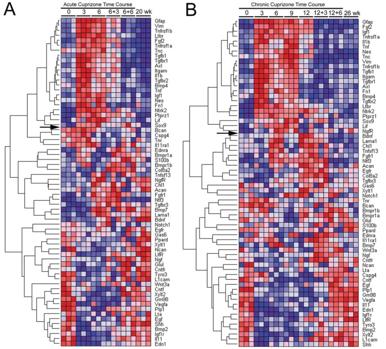 <t>QPCR</t> custom array heat map of relative gene expression throughout the time course of acute (A) or chronic (B) cuprizone treatment and recovery <t>RNA</t> was isolated from the corpus callosum of mice at each time point shown along the top of the heat map. The time points are indicated as the number of weeks of cuprizone ingestion (0, 3, 6, 9 or 12) followed by the weeks on normal chow for recovery (+3 or +6). Results show fold-change values for each gene from triplicate PCR reactions which were each run on a separate plate. For each gene, relative expression levels are shown with the highest as dark red and the lowest as dark blue. Genes are hierarchically clustered based on correlation with expression of GFAP across each time course. Genes above the arrow on each heat map show a pattern similar to GFAP. The age-matched equivalent to the beginning of cuprizone treatment is shown as 0 week while the equivalent to the end of the time course of treatment and recovery is 20 week ( A ) for the acute and 26 week ( B ) for the chronic time course.
