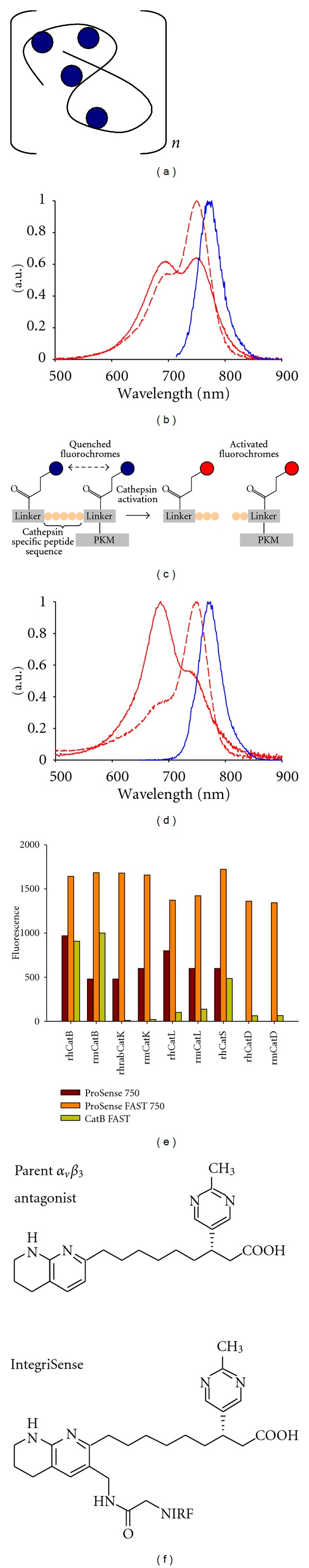 Basic characteristics of cathepsin and α v β 3 integrin agents. (a), (b) Cartoon and spectra of ProSense ~400 kDa polylysine-based [ 27 ]; (c), (d) Cartoon and spectra of FAST peptide-based agents ~23 kDa, PKM: pharmacokinetic modifier, absorption spectra (before activation—dash red and after activation: solid red), emission spectra: solid blue; (e), selectivity in cathepsin probe activation at 24 hours incubation; (f), Chemical structure of parent α v β 3 integrin ligand (top) and IntegriSense (bottom, ~1278 Da) NIRF: VivoTag fluorophore.