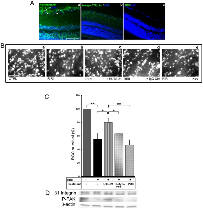 The β1 agonist antibody HUTS-21 enhances RGC survival and rescues β1 integrin-FAK signaling in vivo after RIRI. HUTS-21, or isotype control (CTRL) rat antibodies (0.5 mg/ml), or PBS were administered intravitreally (5 µl) in the rat eye twice, 30 minutes, and 2 days after RIRI. A. Immunostaining with a secondary anti-rat fluorescent antibody demonstrating localization of HUTS-21 antibody into the retina 24 hours after RIRI (n = 3 animals were analyzed). Note that HUTS-21 binds to activated β1 receptors on RGC cell body, dendrites, and axons (a, white arrowheads). B. Representative photo-micrographs of retinal flat-mounts of control rats (a), non-treated (RIRI) (b), and intravitreally treated with HUTS-21 (c), IgG control (IgG Ctrl) (d), and vehicle PBS (e) ischemic rats 5 days post-injury (n = 4–6 animals for each group). C. RGC survival was determined by counting FG retrogradely labeled RGCs in flat-mounted retinas 5 days post-RIRI (n = 4–6 animals for each group). Error bars, SD. Student's t test. **p