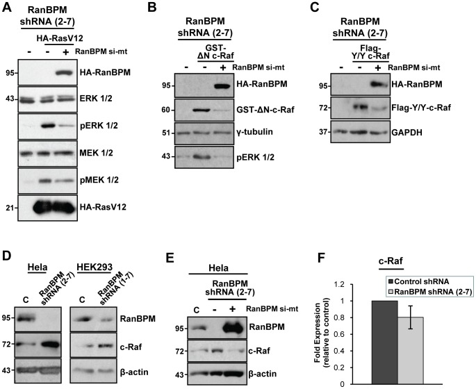 RanBPM inhibits ERK1/2 activation through regulation of c-Raf. ( A ) RanBPM regulates ERK1/2 signaling downstream of Ras. RanBPM shRNA Hela cells were left untransfected, or were transfected with either constitutively active RasV12 and RanBPM si-mt or RasV12 and empty pCMV vector. 24 h post-transfection, whole cell extracts were prepared and analyzed by western blotting. MEK1/2 and ERK1/2 activation was assessed by hybridization with phospho-MEK1/2 and phospho-ERK1/2 antibodies respectively and total MEK1/2 and total ERK1/2 levels were assessed using MEK1/2 and ERK1/2 antibodies. Expression of RasV12 and RanBPM was determined with an HA antibody. ( B ) RanBPM expression down-regulates c-Raf protein levels. RanBPM shRNA Hela cells were left untransfected, or were transfected with either constitutively active c-Raf (pEBG-GST-ΔN-c-Raf) and empty pCMV vector, or GST-ΔN-c-Raf and RanBPM si-mt. 48 h post-transfection, whole cell extracts were prepared and analyzed by western blotting. c-Raf expression was determined using a GST antibody, and ERK1/2 activation was assessed using a phospho-ERK1/2 antibody. RanBPM expression was verified using an HA antibody, and γ-tubulin was used as a loading control. ( C ) RanBPM shRNA Hela cells were either left untransfected or were transfected with constitutively active c-Raf (pCMV-Flag-Y/Y-c-Raf) and 48 h post-transfection, whole cell extracts were prepared as in B. Expression of c-Raf was assessed using a Flag antibody, and RanBPM expression was determined using an HA antibody. GAPDH was used as a loading control. ( D ) Whole cell extracts were prepared from Hela and HEK293 control shRNA and RanBPM shRNA cells and endogenous protein levels were analyzed by western blotting with c-Raf and RanBPM antibodies, with β-actin used as a loading control. ( E ) Control and RanBPM shRNA Hela cells were either left untransfected, or were transfected with empty vector or RanBPM si-mt. 48 h post-transfection, whole cell extracts were prepared and 