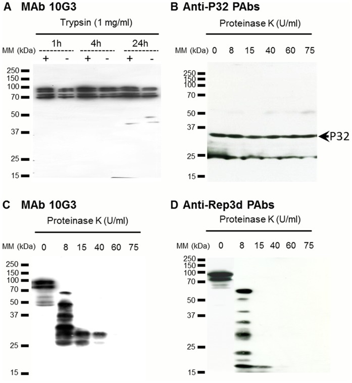 ScARPs are surface exposed. (A) Western immunoblot analysis of ScARPs from S. citri GII3. Spiroplasmas were incubated either with the reaction buffer alone (−) or with 1 mg/ml trypsin (+), for 1, 4, and 24 h. Proteins were probed with MAb 10G3. (B–D) Western immunoblot analysis of S. citri GII3 treated by proteinase K during 10 min at various concentrations. Proteins were probed with anti-P32 PAbs (B), MAb 10G3 (C), and anti-Rep3d PAbs (D).