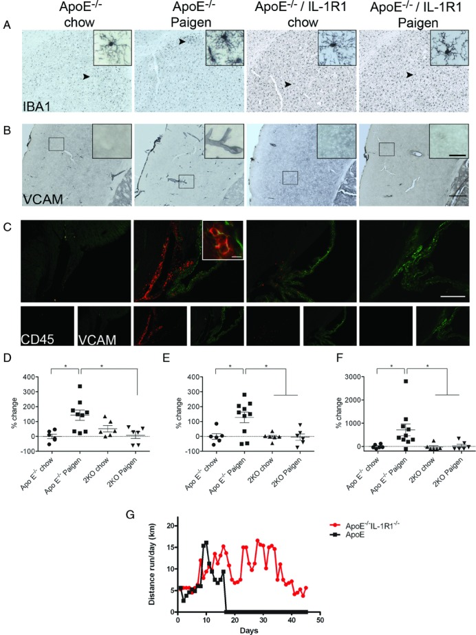 """Vascular activation, microglial activation, and leukocyte accumulation are reduced in ApoE −/− /IL-1R1 −/− mice fed a Paigen diet. Activated microglia as identified by increased Iba1 immunopositivity, thickened processes, and irregular cell bodies were seen in ApoE −/− mice fed a Paigen diet. Microglial activation was significantly reduced, to control levels, in ApoE −/− /IL-1R1 −/− mice fed a Paigen diet (A). Vascular activation was assessed through the immunostaining of the adhesion molecule VCAM. Atherosclerotic ApoE −/− mice show increased vascular activation, which is significantly reduced in ApoE −/− /IL-1R1 −/− mice fed a Paigen diet (B). Leukocyte accumulation as shown by CD45 immunostaining was increased in ApoE −/− mice fed a Paigen diet. Leukocyte accumulation was significantly reduced, to control levels, in ApoE −/− /IL-1R1 −/− mice fed a Paigen diet (C). D, Quantification of Iba1-positive microglia. E, Quantification of VCAM-positive blood vessels. F, Quantification of CD45-positive leukocytes. The """"vehicle"""" data in F were not normally distributed; therefore, in addition to one-way ANOVA ( P =0.017) followed by Bonferroni multiple-comparison post-test, nonparametric Kruskal-Wallis test ( P =0.0065) followed by Dunn multiple-comparison test also were performed. Post-hoc comparisons gave identical results. A through F: n=6–10. G, Voluntary wheel running actogram for ApoE −/− and ApoE −/− /IL-1R1 −/− mice (n=2–3). Error bars represent standard error, * P"""