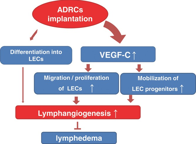 Possible mechanisms of lymphangiogenesis mediated by ADRC implantation. We propose 2 main mechanisms: First, implanted ADRCs release cytokines, including VEGF‐C, that might stimulate migration and proliferation of residual LECs and eventual lymphangiogenesis. Second, cytokines released from ADRCs could augment mobilization and/or recruitment of bone marrow–derived M2 macrophages serving as lymphatic endothelial progenitors. There is little evidence that implanted ADRCs directly transdifferentiate into mature LECs.