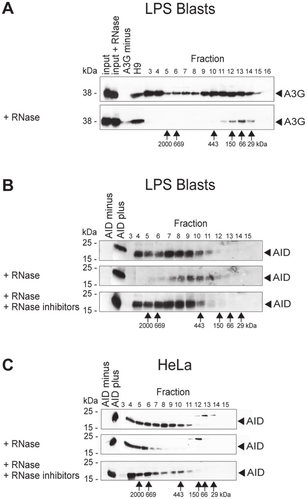 AID forms high-molecular-mass complexes in the cytoplasm. Fractionation according to size by gel filtration of A3G (A) and AID (B and C), followed by Western blot analysis. Numbers above panels, fractions of separation by FPLC; numbers to the left of panels, molecular mass standards (in kDa) of the SDS gel run; numbers below panels, molecular mass standards (in kDa) of the fractions of the FPLC run. ( A ) Western blots of fractions of FPLC eluates were developed with polyclonal antibody to A3G. Input, untreated lysate of A3G-positive cells; input + RNase, RNase A-treated lysate of A3G-positive cells; A3G minus, lysate of A3G-negative cells; H9, A3G-positive cell line; fractions 3–16, fractionated lysates of LPS- plus IL-4-activated B lymphocytes from human A3 transgenic mice. Upper panel, untreated cell lysate (devoid of nuclei); lower panel, treated with RNase A before fractionation on FPLC. ( B and C ) Western blots of fractions of FPLC eluates developed with monoclonal antibody to AID. AID minus, lysate of AID-negative HeLa cells; AID plus, lysate of AID-positive HeLa cells; fractions 3–15, fractionated lysates of LPS- plus IL-4-activated B lymphocytes from AID-sufficient mice (B) and of AID-positive HeLa cells (C). Top panel, untreated cell lysate (devoid of nuclei); middle panel, treated with RNase A before fractionation on FPLC; bottom panel, treated with RNase A and RNase inhibitors before fractionation. Concomitant with RNase A treatment, proteins were somewhat digested for unknown reasons.
