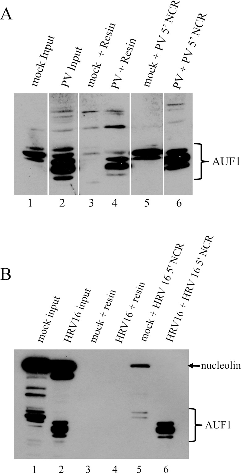 Full-length and virally truncated forms of AUF1 interact with the 5′ NCR of poliovirus and human rhinovirus 16. Transcripts of the poliovirus 5′ NCR (A) or human rhinovirus 16 5′ NCR (B) were biotinylated with biotin-CTP. Streptavidin agarose resin was first incubated with either tRNA alone (lanes 3 and 4) or biotinylated 5′-NCR transcripts (lanes 5 and 6). All experiments were carried out in the presence of a molar excess of tRNA. Lysates from mock-infected or poliovirus-infected (A) or human rhinovirus 16-infected (B) HeLa cells were incubated with streptavidin-bound RNA in RNA affinity assays. Bound complexes were analyzed by SDS-PAGE and Western blot analysis using anti-AUF1 antibody (A) or anti-AUF1 and antinucleolin (as a loading control) antibodies (B). In lanes 1 and 2, 20% of the experimental input sample was loaded from mock or infected lysates, respectively. Electrophoretic mobilities of AUF1 and nucleolin are indicated by a bracket or arrow, respectively.