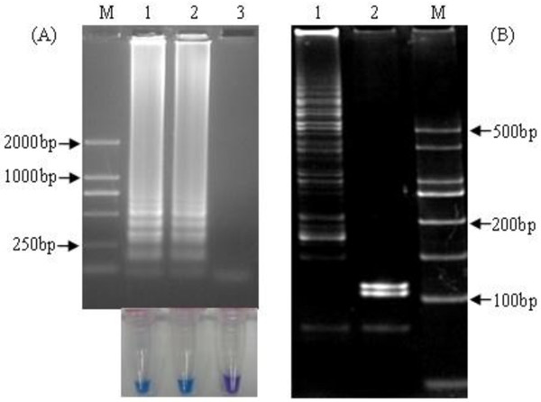 hMPV RT-LAMP amplification and digestion of positive RT-LAMP products. (A ) RT-LAMP products were examined by agarose gel electrophoresis (upper panel) and visually amplification for color change (lower panel). Lane M, DNA marker DL2000 (Biomed, China, with bands of 2000, 1000, 750, 500, 250 and 100 bp); 1–2, positive hMPV RNA; 3, DEPC-treated H 2 O. (B) RT-LAMP products were digested with Msp I, and two fragments (103 bp, 116 bp) were observed by polyacrylamide gel electrophoresis attained with ethidium bromide and photographed under a UV transilluminator. 1, RT-LAMP products without digestion; 2, RT-LAMP products digested by Msp I; M, DNA marker DL500 (Biomed, China, with bands of 500, 400, 300, 250, 200, 150, 100 and 50 bp).