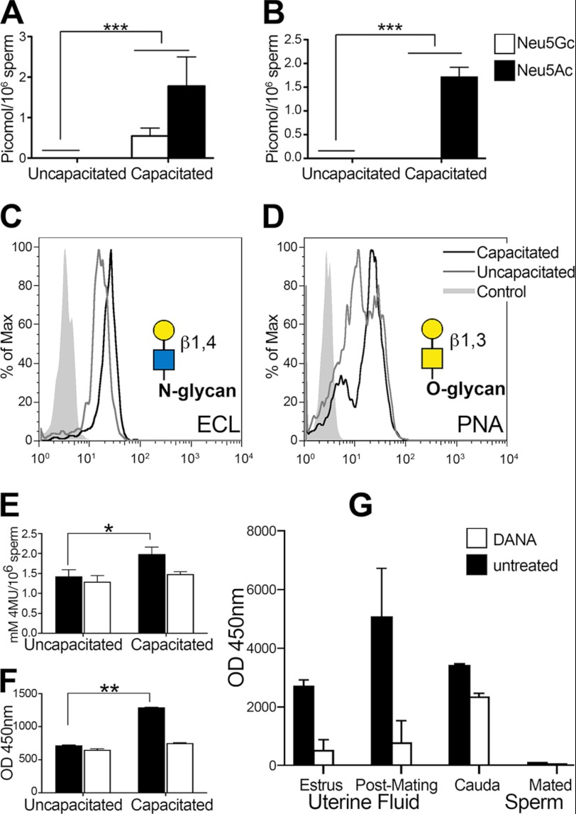 Release of Sia monosaccharides during sperm capacitation. A and B , released Sia (monosaccharides) from in vitro capacitated sperm. A , Neu5Gc and Neu5Ac from mouse sperm. B , Neu5Ac from human sperm. C and D , increase in exposed galactose as measured by lectins. C , E. crista-galli lectin ( ECL ; representative of five experiments). D , PNA lectin (representative of five experiments). Yellow circles , galactose; blue square , N -acetylglucosamine; yellow square , N -acetylgalactosamine. E and F , sialidase activity during sperm capacitation. E , sialidase activity of uncapacitated and in vitro capacitated mouse sperm with and without addition of the sialidase inhibitor DANA (representative of eight experiments). 4MU , 4-methylumbelliferyl. F , sialidase activity of uncapacitated and in vitro capacitated human sperm with and without addition of the sialidase inhibitor DANA (representative of eight experiments). G , sialidase activity in female mouse uterine fluid collected during estrous and 1.5 h after mating, capacitated mouse cauda epididymal sperm, and mouse sperm retrieved from the uterus 1.5 h after mating (representative of four experiments). *, p ≤ 0.05; **, p ≤ 0.01; ***, p ≤ 0.001 versus the control.