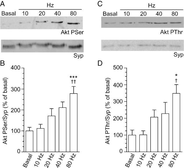 Akt is phosphorylated in an activity-dependent manner Cultures were subjected to action potential trains of increasing frequency (10, 20, 40 or 80 Hz) for 10 seconds. The extent of phosphorylation of either Akt Ser473 [Pser, (A)] or Thr308 [PThr (C)] was assessed by western blotting. Synaptophysin (Syp) blots were performed as loading controls. Representative blots are displayed for all experiments. The extent of phosphorylation of either Akt Ser473 (B) or Thr308 (D) is displayed. Data were corrected against protein levels (Syp) and then normalized to basal ± SEM ( n = 7 for PSer Akt and n = 5 for PThr Akt). One-way anova : *p