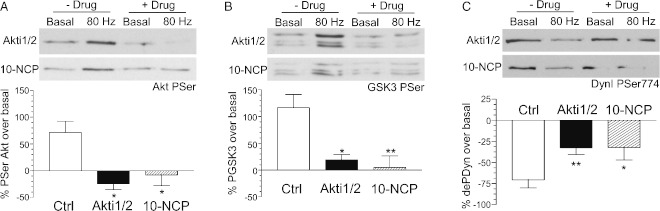 Akt phosphorylates GSK3 to retard dynamin I dephosphorylation during high intensity stimulation Cultures were incubated either in the absence or presence of Akt antagonists (Akti1/2–500 n m , 10-NCP–500 nM) for 10 min. Cultures were then either stimulated (80 Hz 10 seconds) or rested (basal) for 10 seconds in the absence and presence of antagonists and then immediately lysed. Representative blots display the phosphorylation of either (A) Akt Ser473, (B) GSK3 Ser9/21 or (C) dynamin I (DynI) Ser774 in the absence (− Drug) or presence (+ Drug) of either Akti1/2 or 10-NCP. The extent of phosphorylation/dephosphorylation of either Akt (A), GSK3 (B) or DynI (C) in the absence of inhibitor (Ctrl, clear bars), the presence of Akti1/2 (filled bars) or 10-NCP (hatched bars) is displayed. Data were corrected against protein levels (Syp) and expressed as the extent of stimulus-evoked phosphorylation over basal ± SEM ( n = 8 for PAkt control, n = 3 for PAkt Akti1/2, n = 3 for PAkt 10-NCP; n = 8 for PGSK3 control, n = 5 for PGSK3 Akti1/2, n = 5 for PGSK3 10-NCP; n = 17 for PDynI control, n = 13 for PDynI Akti1/2, n = 6 for PDynI 10-NCP). Student's t -test: *p