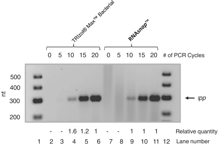 Comparison of <t>RNA</t> snap ™ and Trizol® Max™ isolated RNA in an RT–PCR experiment. RNA isolated from SK4390 ( rph-1 ΔrppH ) was reversed transcribed with a primer specific for the lpp mRNA (∼330 nt) and subsequently PCR amplified for either 5,10,15, or 20 cycles (see 'Materials and Methods' section). The amplified PCR products were run on a 2% agarose gel and quantitated using ImageQuant TL software (GE). The amount of PCR product at the end of a fixed number of cycles from RNA snap ™ isolated RNA was set at 1 and compared with the amount of product obtained using Trizol® Max™ isolated RNA. Lanes 1 and 12, Gene Ruler™ Low Range <t>DNA</t> Ladder (Fermentas).