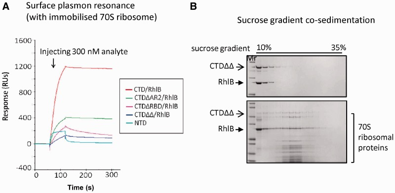 Subassemblies of <t>RNase</t> E <t>CTD</t> constructs with <t>RhlB,</t> interact with 70S ribosome. ( A ) Surface plasmon resonance analysis. Equal amount of subassemblies of RNase E CTD constructs/RhlB or NTD were injected over immobilized 70S ribosome and their association/dissociation curves compared. The dissociation curves for the subassemblies indicate a stable interaction between analytes and ligands (with weaker stability for RNase E CTDΔRBD/RhlB). The interaction between RNase E NTD and 70S ribosome is considered to be weak or non-specific. ( B ) Co-sedimentation analysis of RNase E CTDΔRBDΔAR2/RhlB complex and 70S ribosome. The CTDΔRBDΔAR2/RhlB complex migrated with 70S ribosome to 23–24% sucrose (lower gel), whereas the subassembly itself distributed at 10–20% sucrose (upper gel).
