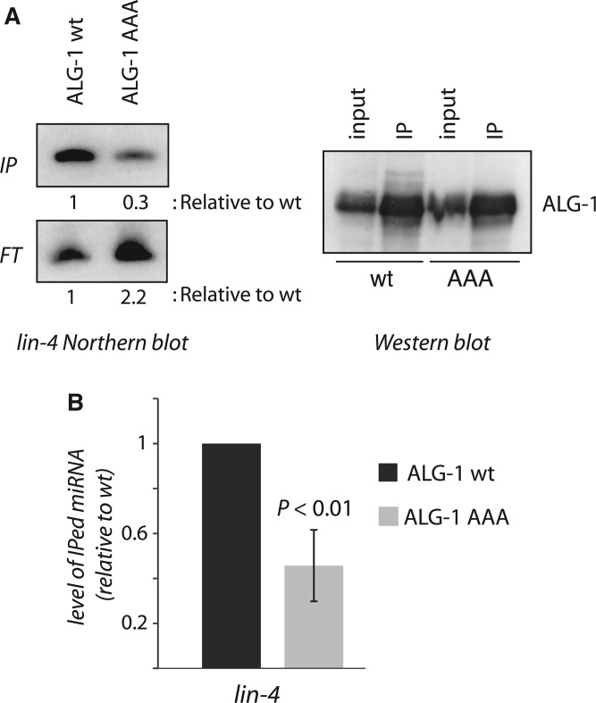 Slicing ALG-1 is required to generate functional miRISC. ( A ) Detection of lin-4 in bound (IP) or unbound (FT) fractions after ALG-1 immunoprecipitations. Transgenically expressed ALG-1 wild-type (wt) or catalytically defective (AAA) protein were IPed from alg-1(lf) ; alg-2(RNAi) animals. The presence of lin-4 strands was detected by Northern blotting (left panel) and 10% of immunopurified complexes were used for detection of ALG-1 (right panel). ( B ) The quantification of three independent experiments is shown in the lower panel. Errors bars represent a 95% confidence interval and a Student's two-sided t -test was applied to obtain P values.