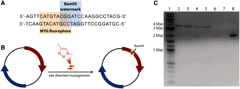 ( A ) The click-oligonucleotides used for site directed mutagenesis contained a silent C to A mutation (shown in blue), that introduces a BamHI restriction site not present in the native mCherry gene. The click-linked bases are shown in red. ( B ) Assembly of the click-linked pRSET-mCherry plasmid by site directed mutagenesis, introducing a BamHI watermark. ( C ) Gel electrophoresis (0.8% agarose gel) of SDM products (expected size 3577 bp); Lane 1, 2-log DNA ladder (New England Biolabs); lane 2, pRSET-mCherry SDM with normal primers; lane 3, pRSET-mCherry SDM with normal primers followed by DpnI digestion; lane 4, pRSET-mCherry SDM using click primers; lane 5, pRSET-mCherry SDM using click primers followed by DpnI digestion; lane 6, negative control (pRSET-mCherry SDM using water instead of primers); lane 7, negative control followed by DpnI digestion; lane 8, pRSET-mCherry template plasmid.