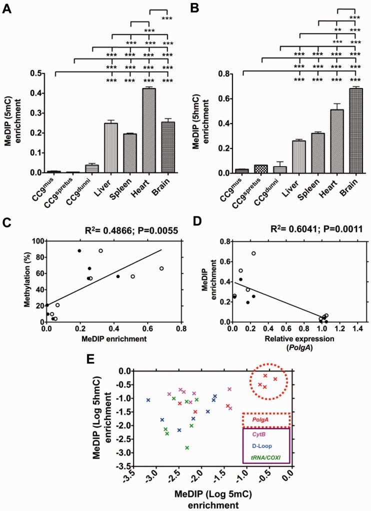 Analysis of PolgA and mtDNA enrichment in 5mC and 5hmC MeDIP of ESCs and somatic tissues. DNA samples from cultured CC9 mus , CC9 spretus and CC9 dunni cells; liver, spleen, heart and brain samples were immunoprecipitated using antibodies against ( A ) 5mC and ( B ) 5hmC, and analysed using real time PCR for PolgA (exon 2) enrichment. Bars represent means ± SEM. Significant differences between cell types are indicated (** P
