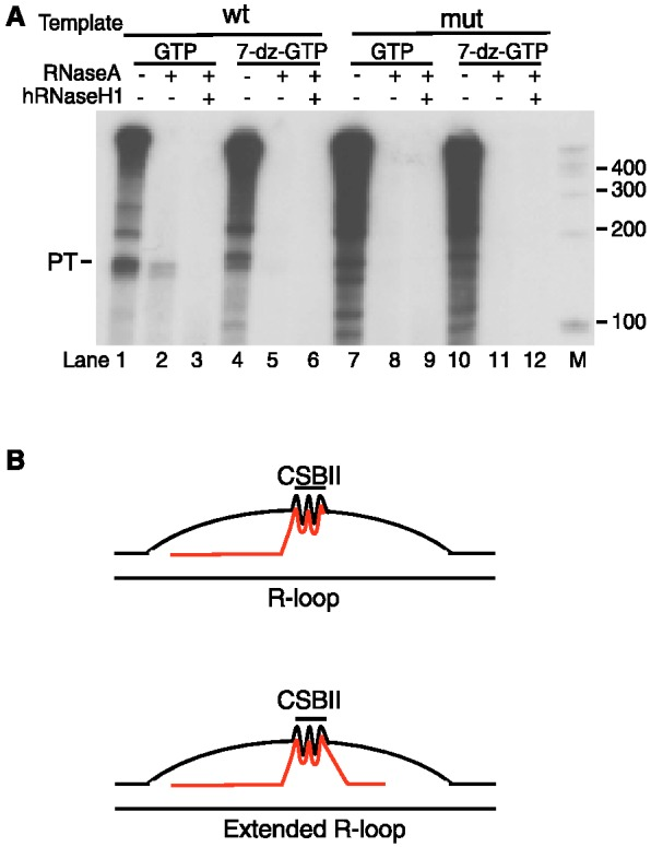 A longer R-loop can form during transcription of human mtDNA with phage T7 RNA polymerase. ( A ) Transcription of a human mtDNA template containing wildtype or mutant CSB II with T7 RNA pol in the presence of either GTP (lanes 1–3 and 7–9) or 7-deaza-GTP (lanes 4–6 and 10–12). A hybrid species of ∼120 bp is revealed upon RNase A treatment (lane 2) and is sensitive to hRNaseH1 (lane 3). This longer hybrid is dependent on CSB II and not observed in the presence of 7-deaza-GTP (lanes 4–6). ( B ) Schematic presentation of the RNA–DNA hybrid G-quadruplex that forms between the RNA and the non-template DNA strand during transcription of mtDNA. Under some conditions, an extended R-loop may be formed, similar to that reported in ( 22 ).