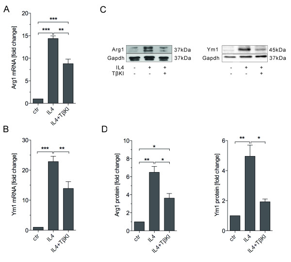 Arg1 and Ym1 expression induced by IL4 was blocked in the presence of a TGFβ receptor type I inhibitor. Primary microglia were treated with IL4 (10 ng/ml) combined either with or without TGFβ receptor type I kinase inhibitor IV (TβKI, 2 μM) for 24 hours. RNA and proteins were isolated for quantitative RT-PCR and western blotting, respectively. Quantitative RT-PCR shows that IL4 treatment significantly increased Arg1 ( A ) and Ym1 ( B ) mRNA levels ( P